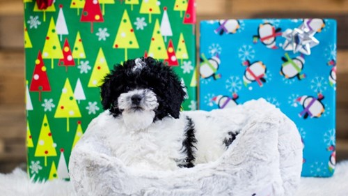 Grand Rapids Poodle Puppies for sale