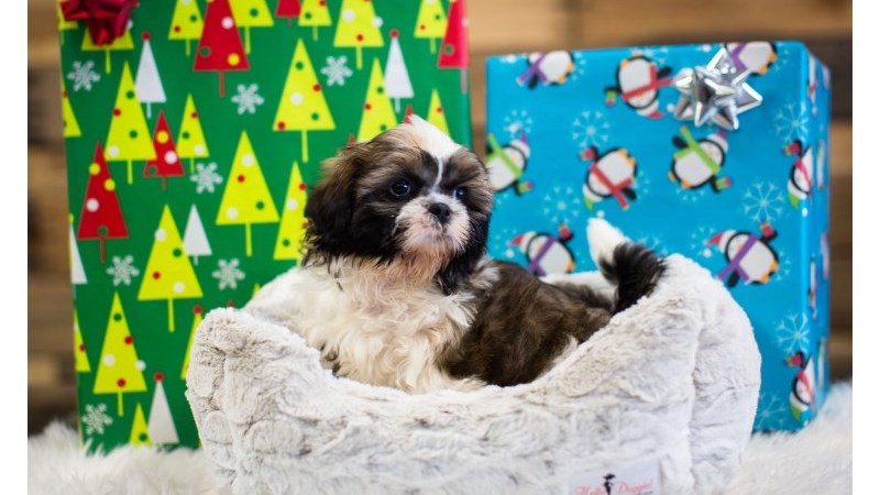 Grand Rapids Shih Tzu Puppies