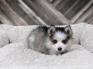 Puppies And Dogs For Sale Petland Racine Wisconsin