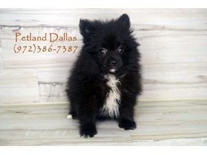 Dogs Puppies For Sale Petland Pet Store Dallas Texas