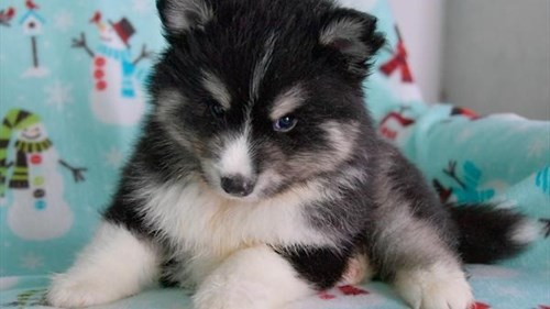 Grand Rapids Pomsky Dog Adoption Grand Rapids, MI