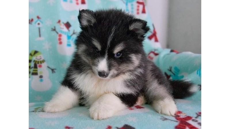 Grand Rapids Pomsky Puppies