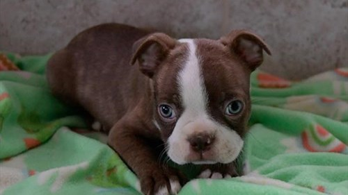 Grand Rapids Boston Terrier Dog Adoption Grand Rapids, MI