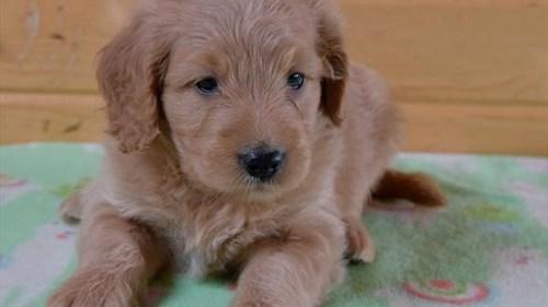 Grand Rapids Goldendoodle Mini Puppies for sale