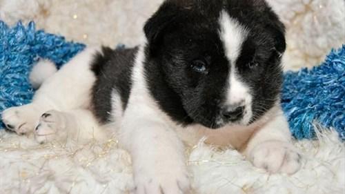 Grand Rapids Akita Puppies for sale