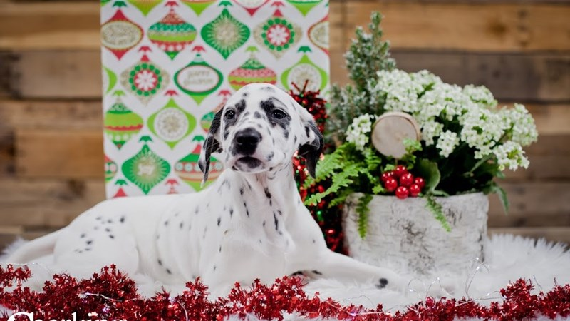 Grand Rapids Dalmatian Puppies