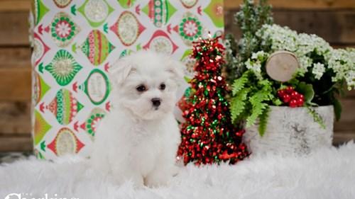 Grand Rapids Maltese Puppies for sale