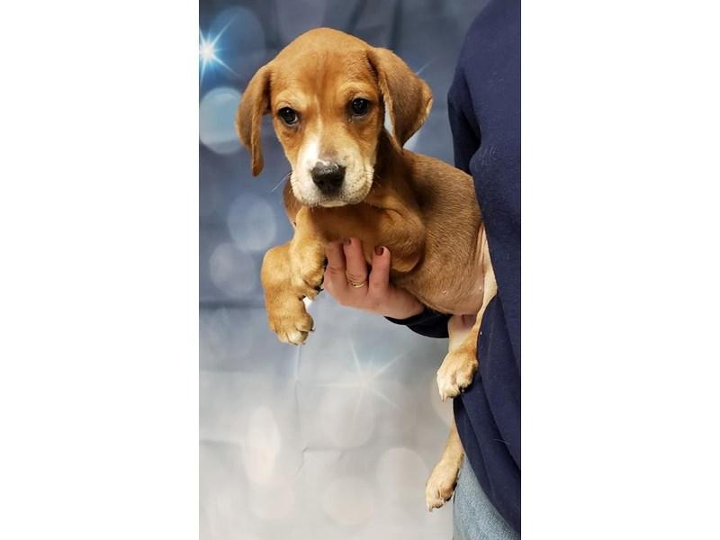 Mixed Breed-DOG-Female-Tan, White-2235821