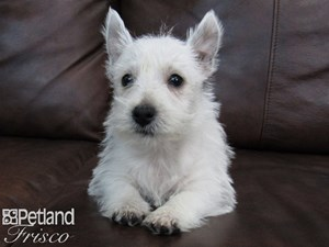 Dogs Puppies For Sale Petland Frisco Texas Pet Store