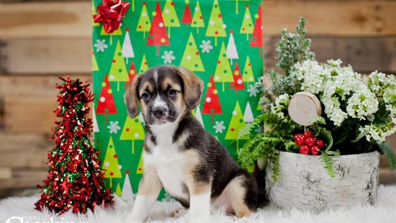 Grand Rapids Australian Shepherd/beagle Puppies