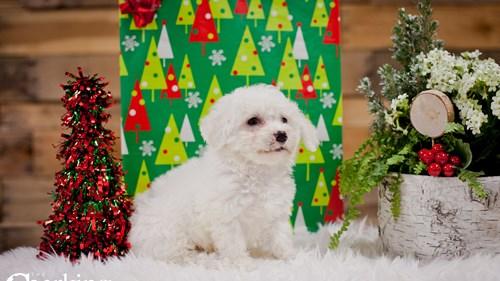 Grand Rapids Bichon Frise Puppies for sale