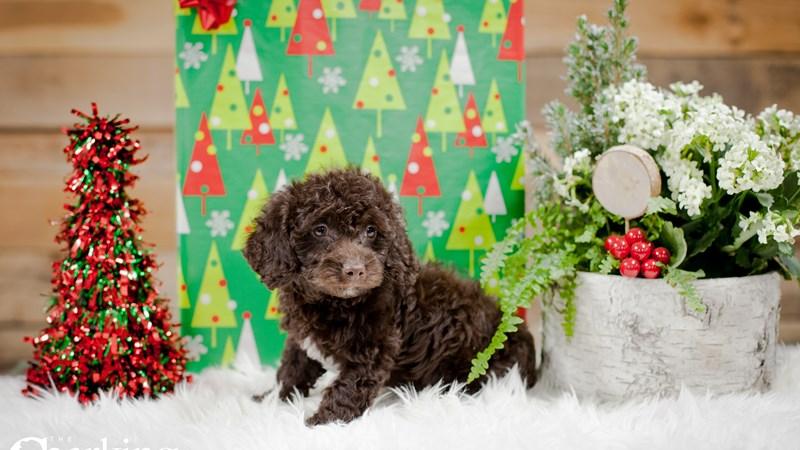 Grand Rapids Cocker Spaniel/poodle Puppies