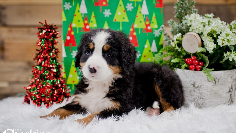Grand Rapids Bernese Mountain Dog Puppies