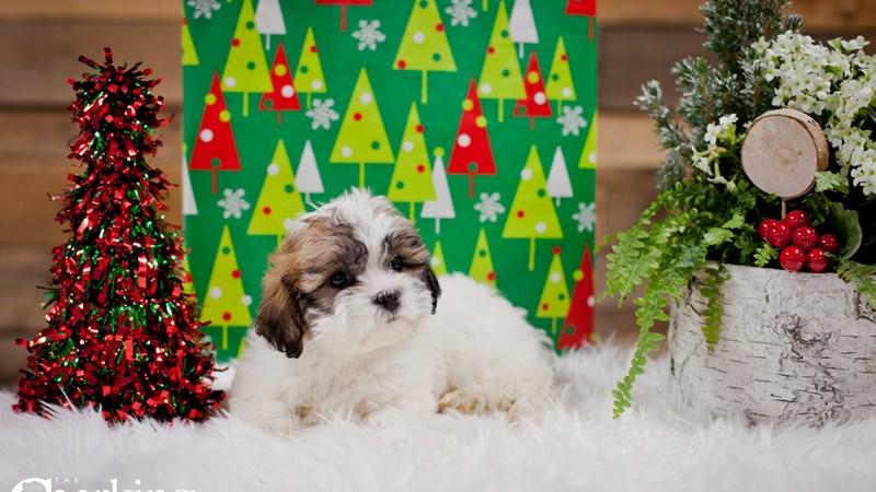 Grand Rapids Shih Tzu/bichon Puppies
