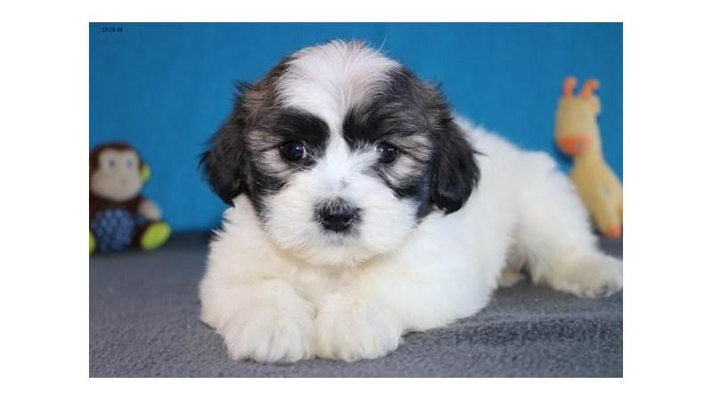 Grand Rapids Zuchon Puppies