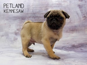 Dogs Puppies For Sale Petland Kennesaw Ga