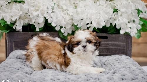Grand Rapids Shih Tzu Puppies for sale