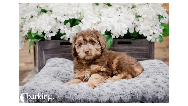 Grand Rapids Poodle/miniature Australian Shepherd Puppies