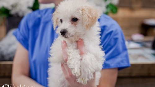 Grand Rapids Poodle/bichon Puppies for sale