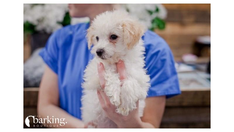 Grand Rapids Poodle/bichon Puppies