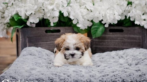 Grand Rapids Zuchon Puppies for sale