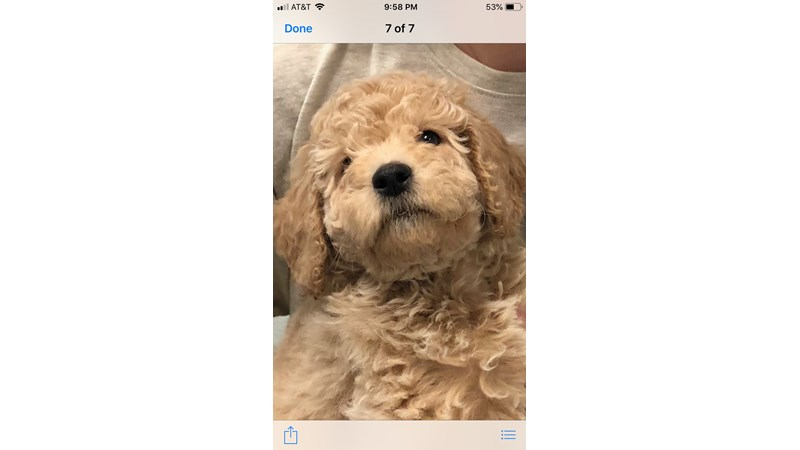 Grand Rapids F1b Mini Goldendoodle Puppies