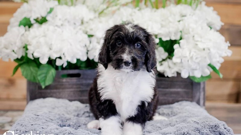 Grand Rapids Bernedoodle Puppies