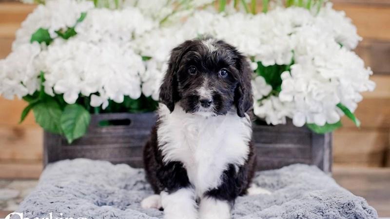 Grand Rapids Bernedoodle Puppies
