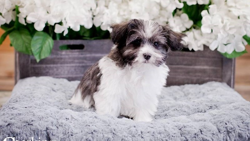 Grand Rapids Maltese/havanese Puppies