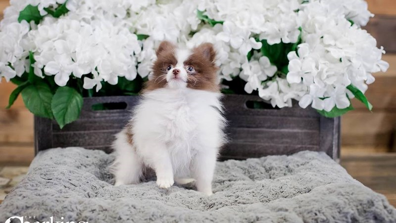 Grand Rapids Pomeranian Puppies