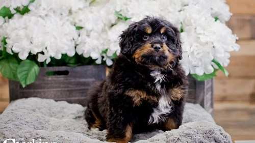 Grand Rapids Mini Bernedoodle Dog Adoption Grand Rapids, MI