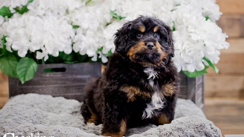 Grand Rapids Mini Bernedoodle Puppies