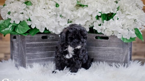 Grand Rapids Poodle/shih Tzu Puppies for sale