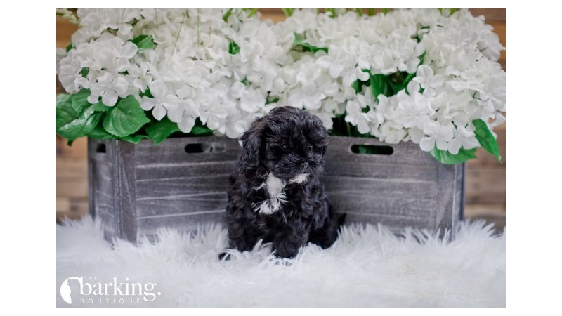 Grand Rapids Poodle/shih Tzu Puppies