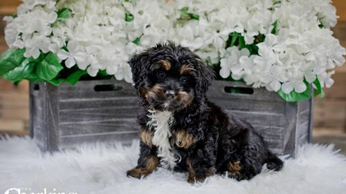 Grand Rapids Mini Bernedoodle Puppies for sale