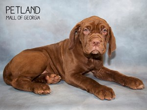 31816 TANK is an adoptable Neapolitan Mastiff searching for a