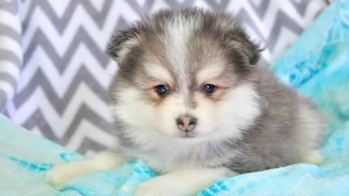 Grand Rapids Pomsky Puppies for sale