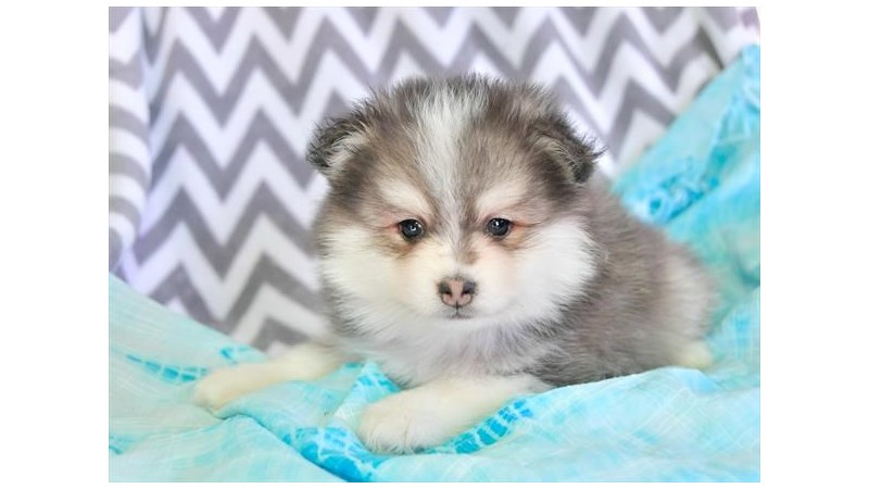 Grand Rapids Pomsky Puppies