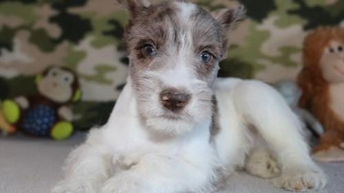 Grand Rapids Miniature Schnauzer Puppies for sale