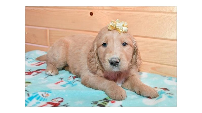 Grand Rapids Goldendoodle Puppies