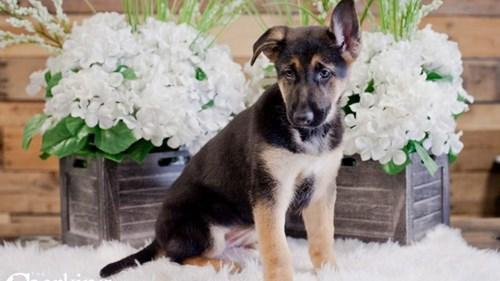 Grand Rapids German Shepherd Dog Puppies for sale