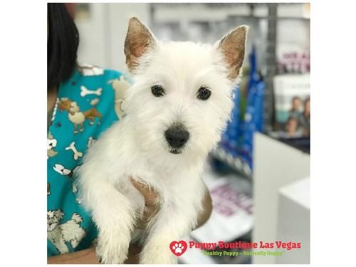 Available Puppies Puppy Boutique Las Vegas