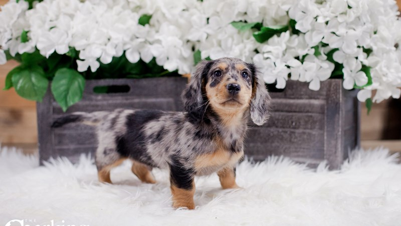 Grand Rapids Dachshund Puppies