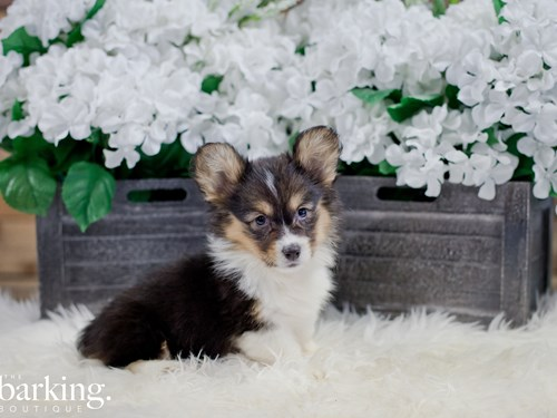 Grand Rapids Pembroke Welsh Corgi Dog Adoption Grand Rapids, MI