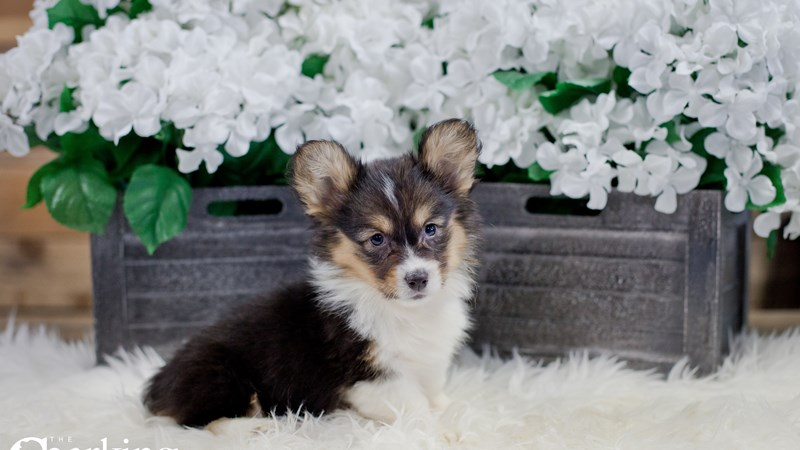 Grand Rapids Pembroke Welsh Corgi Puppies