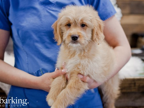 Grand Rapids Goldendoodle Mini Dog Adoption Grand Rapids, MI
