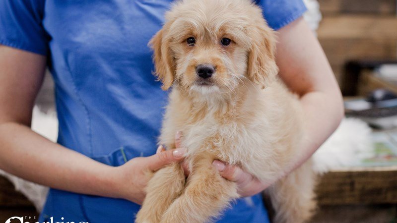 Grand Rapids Goldendoodle Mini Puppies