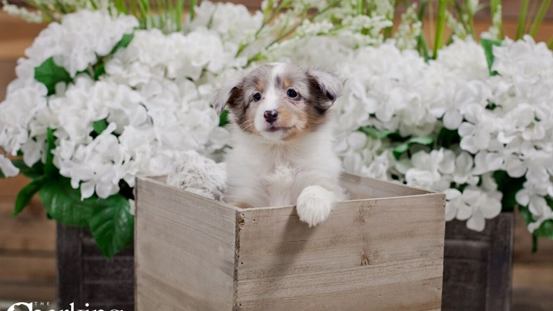 Grand Rapids Shetland Sheepdog Puppies