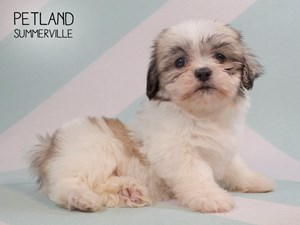 Dogs Puppies For Sale Petland Summerville South Carolina