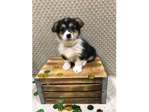See Our Puppies For Sale Come Visit Petland St Louis Missouri